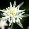 edelweiss1518